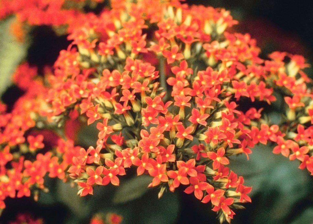 Kalanchoe-flower