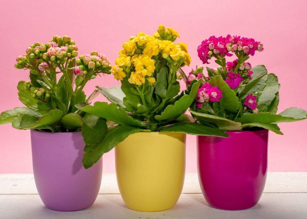 medical-houseplants-kalanchoe