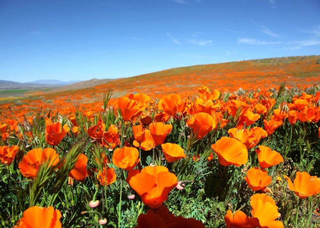 California-poppies-in-Mojave-Desert