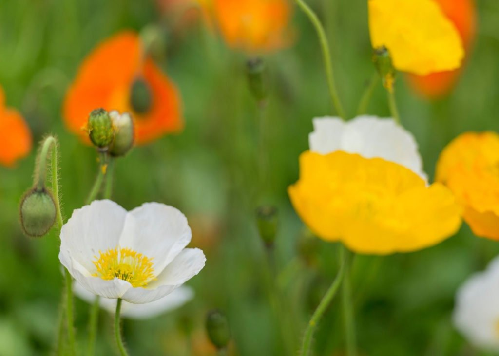 White-and-California-Poppy