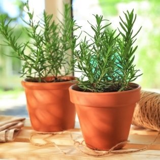 Pots-with-rosemary