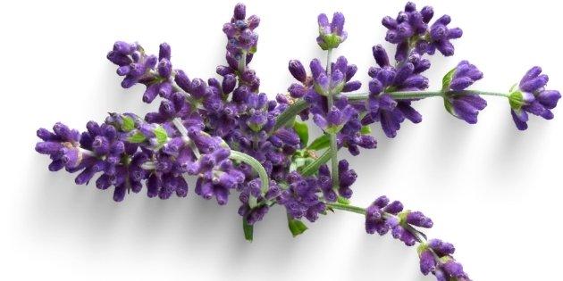 herb list - Lavender