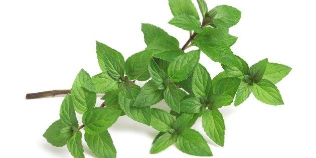 herbs list - Peppermint