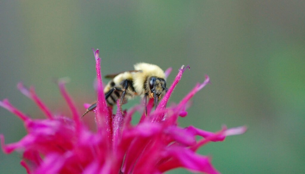 insect-on-bee-balm