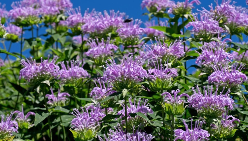 purple-bee-balm
